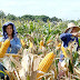 Historic First: Philippines to start exporting corn to neighboring countries this year
