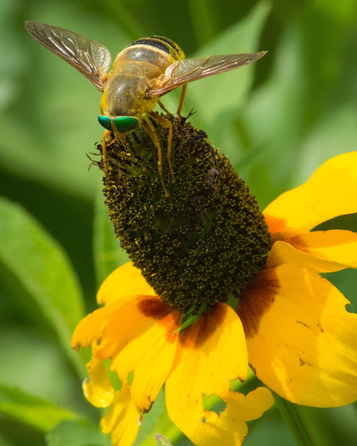 Green Eyed Fly on Prairie Coneflower, Clear Creek Natural Heritage Center