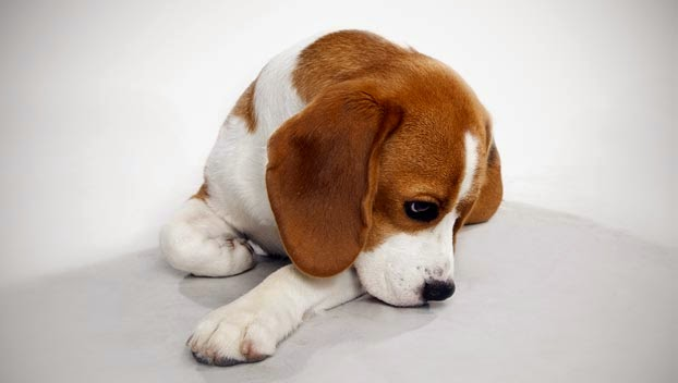 Cute Beagle Guide Brown and White Dog