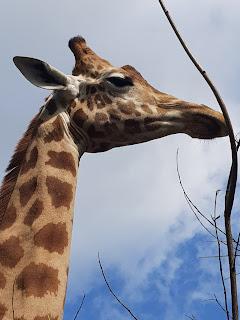girafe-du-niger-zoo-de-maubeuge