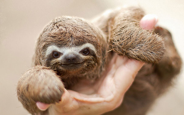 Baby Animals: Baby Sloth