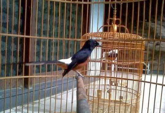 salah satu dari perawatan tersebut yaitu pemilihan kandang yang sempurna untuk burung kicau Tips Memilih Sangkar untuk Burung Murai Batu