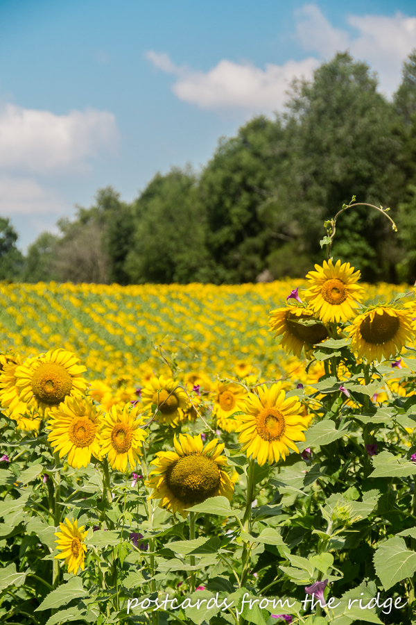 Dreamy field of sunflowers in Tennessee.