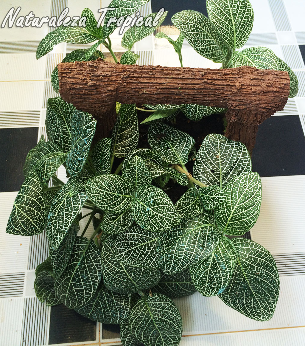 Naturaleza tropical las fitonias plantas de interior por for 2 plantas ornamentales
