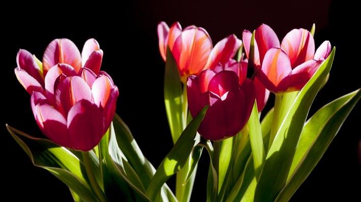Wallpaper: Natural Tulips in Darkness