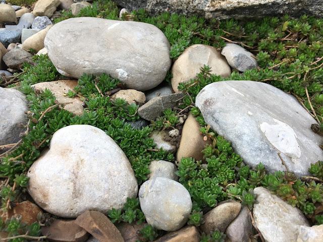 sedum in rocks