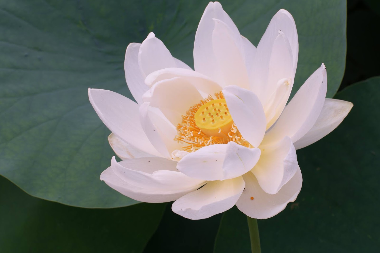 A lotus flower is in bloom on a pond izmirmasajfo