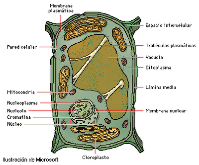 Dibujos De La Celula Vegetal Y Sus Partes