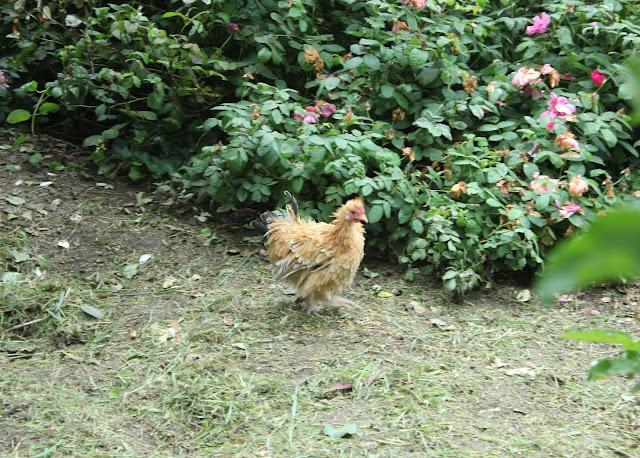 Little chamois frizzle hen