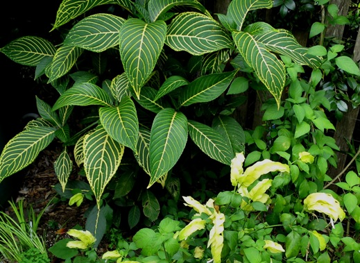 SANCHEZIA SPECIOSA (syn. S. nobilis)  Acanthaceae SANCHEZIA photo