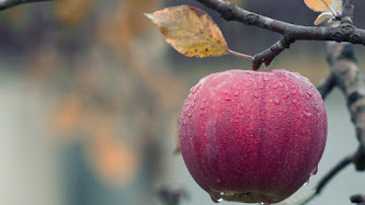Tasty Apple in Tree