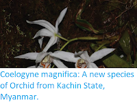 https://sciencythoughts.blogspot.com/2017/11/coelogyne-magnifica-new-species-of.html