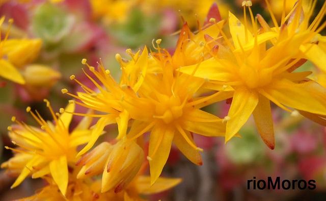 Flores de SEDUM Sedum palmeri