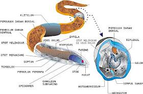 nemathelminthes mai multe nematode
