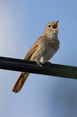 Common nightingale Luscinia megarhynchos singing on a branch
