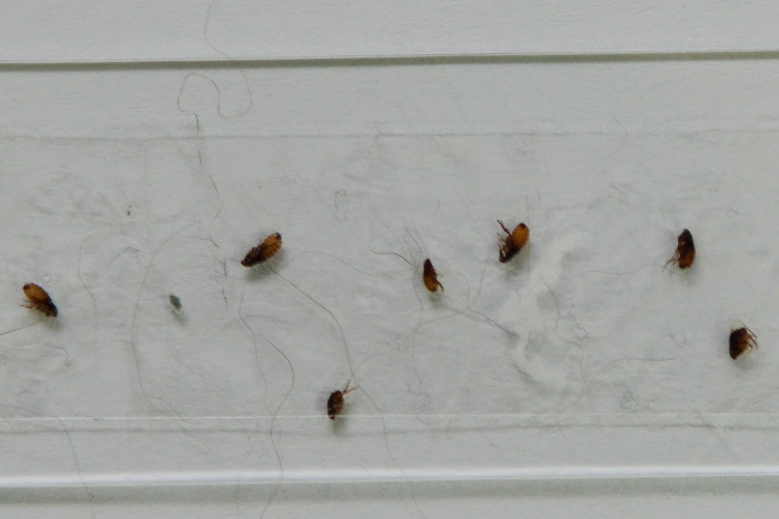 Dog Lice Vs Fleas