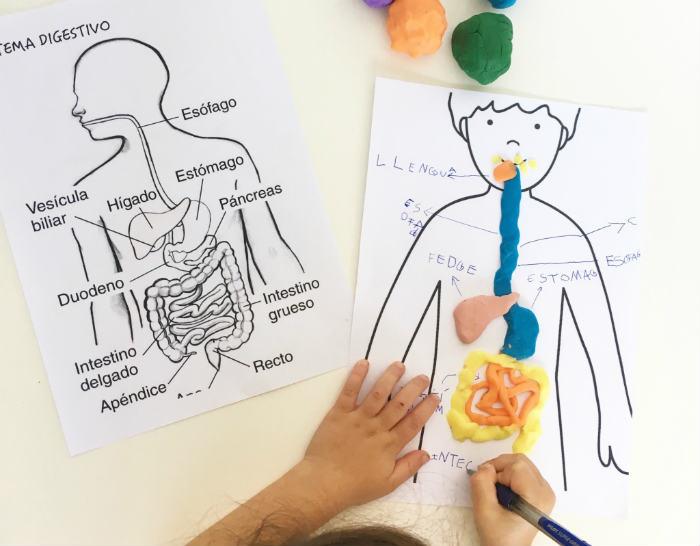 manualidad actividad infantil aprender sistema digestivo plastilina cuerpo humano