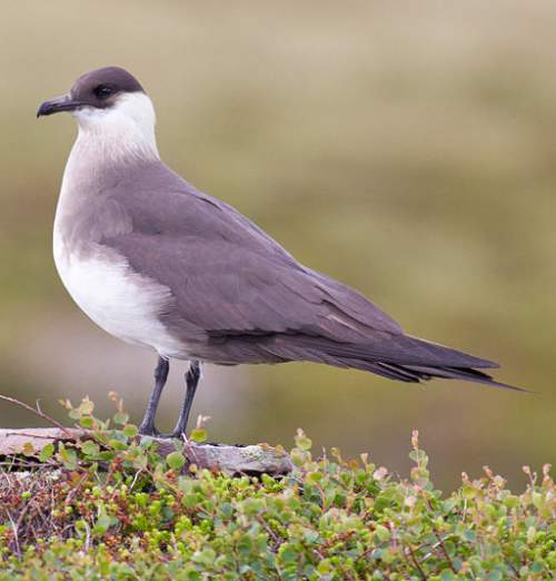 Indian birds - Photo of Arctic jaeger - Stercorarius parasiticus
