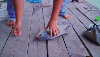 Rahasia Teknik Kecerdikan Daya Ikan Bawal Air Tawar