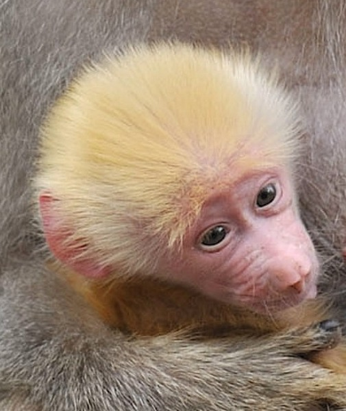 Baby Animals: Baboon infant 19