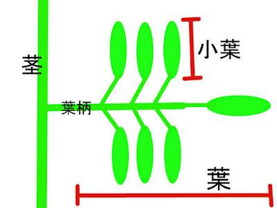羽状複葉の葉と小葉の関係