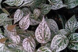 Manfaat daun sirih merah untuk obat herbal diabetes