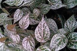 Obat herbal diabetes dari ekstrak daun sirih merah