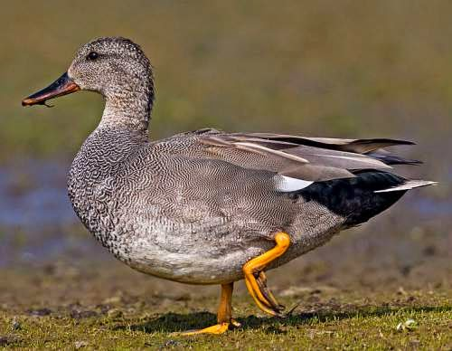 Indian birds - Gadwall - Mareca strepera