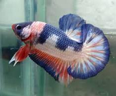 Cupang Plakat 7 Besar Ikan Hias Paling Populer Di Indonesia