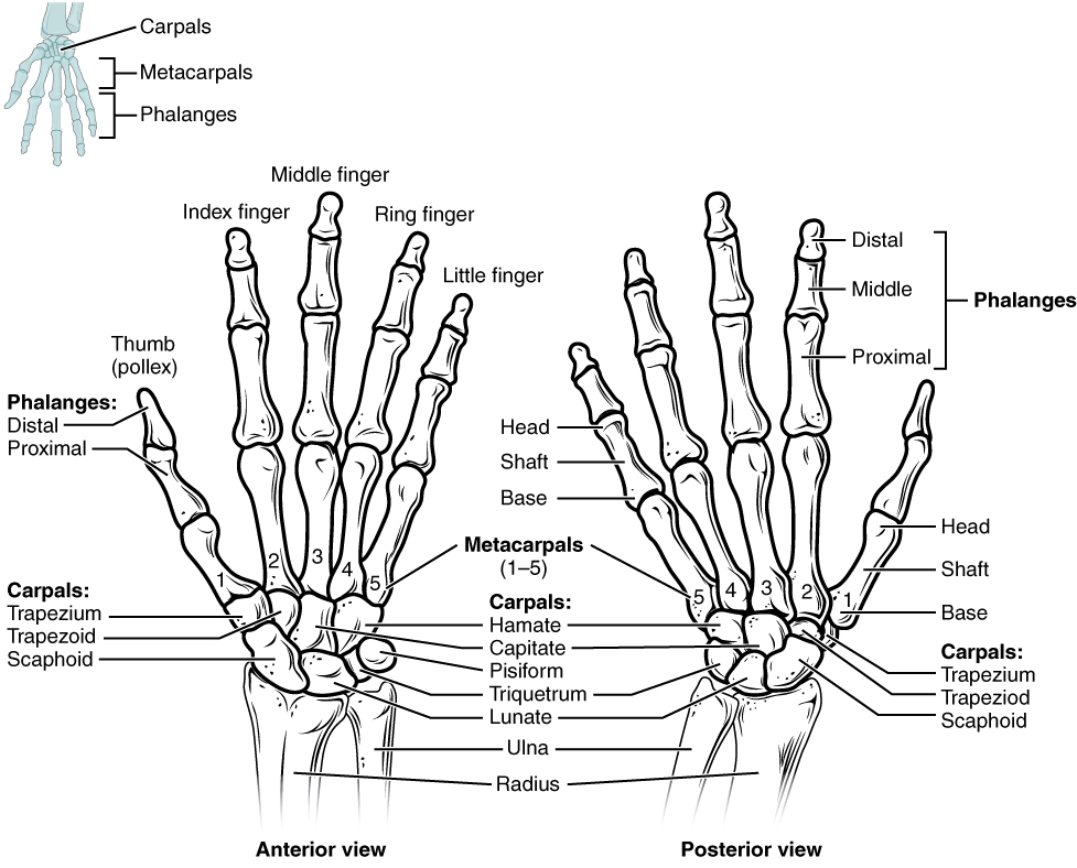 Clarification of Terms The hand is made up of the thumb metacarpals and phalanges The digits are numbered with the thumb being 1 and the small finger being