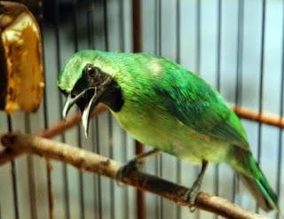 Download suara burung cucak ijo | directorykicau.