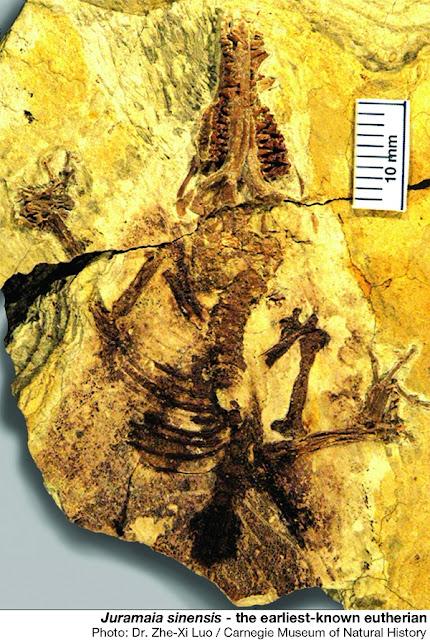 Fosil J. sinensis - eutherian tertua