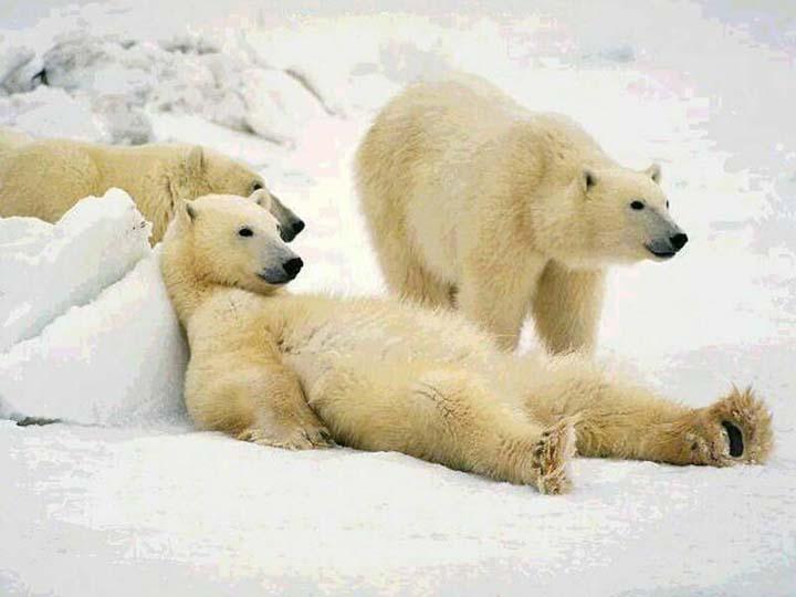 vahşi kutup hayvanları resimleri