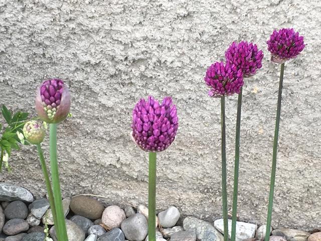 Endelig kom blomsterløkene i jorda. Allium er trofast og kommer tilbake hver vår. Furulunden.