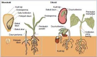 Perbedaan Struktur Anatomi Organ Bunga Pada Tumbuhan Monokotil dan Dikotil