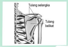 Gambar Tulang Bahu
