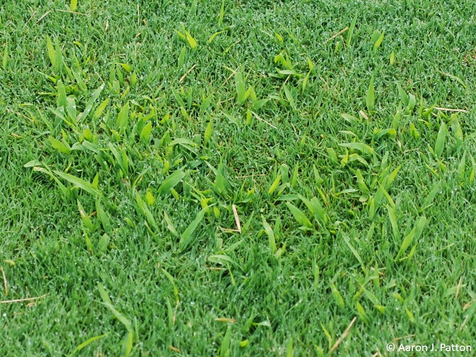 As Crabgr S With The First Killing Frost Plant Can Ear Unsightly Brown Patches Surrounded By Green Cool Season Turf In Lawns