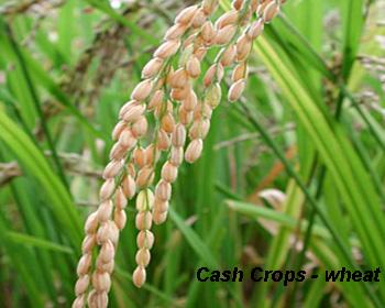 Cash Crops log: Cash Crop Wheat