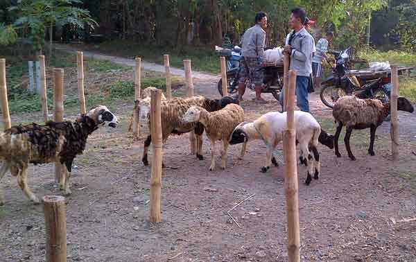 harga domba kurban di majalengka naik