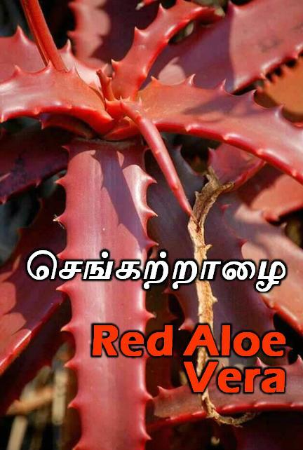செங் கற்றாழை கற்பம் - red aloe vera - kayakarpam - செங்கற்றாழை காயகற்பம், MOOLIGAI SEDIGAL,  iyarkai maruthuva mooligaigal