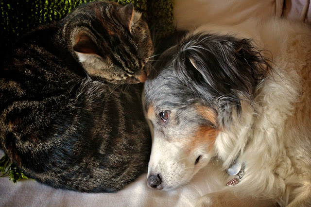 Tips on how to pet dogs and cats. This tabby cat and Australian Shepherd dog are curled up asleep together.