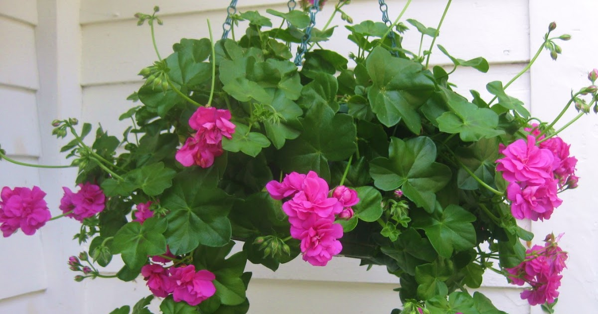 Geranio hiedra: cuidados, cultivo y mantenimiento   Tips Jardin