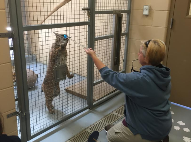 Bobcats Backstage at Cosley Zoo