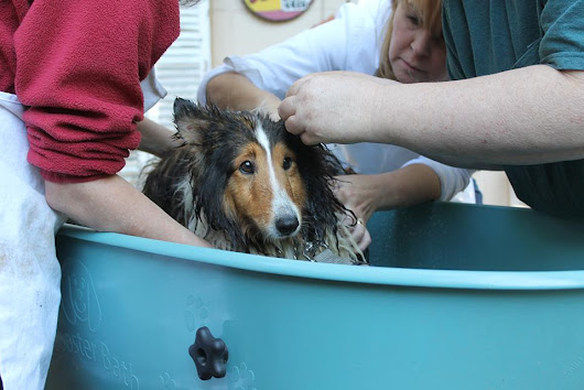 Sheltie rescues respond to hoarding in NOVA ~ Poochie Project