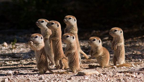 Green Pear Diaries, animales bebé, crías, tiernos, suricata
