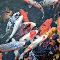 Makanan Ikan Koi Agar Cepat Besar Dan Bagus Untuk Warnanya