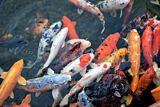 Jenis Ikan Koi Terbaik Paling Populer Beserta Gambarnya