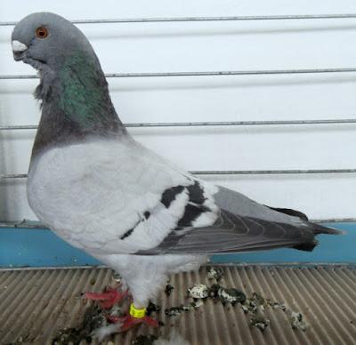 barbet pigeon - belgium pigeons