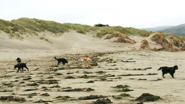 kelp mounds dot the sandy beach, four black dogs scattered about sniffing the mounds, with yellow Cabana among them