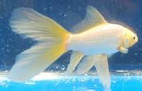 jenis ikan koki Comet goldfish putih cantik